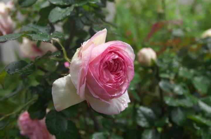 雨上がりにバラが生き生き