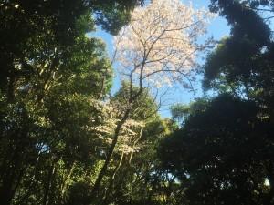 森の上に桜が咲いている
