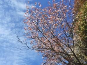 海岸の山桜