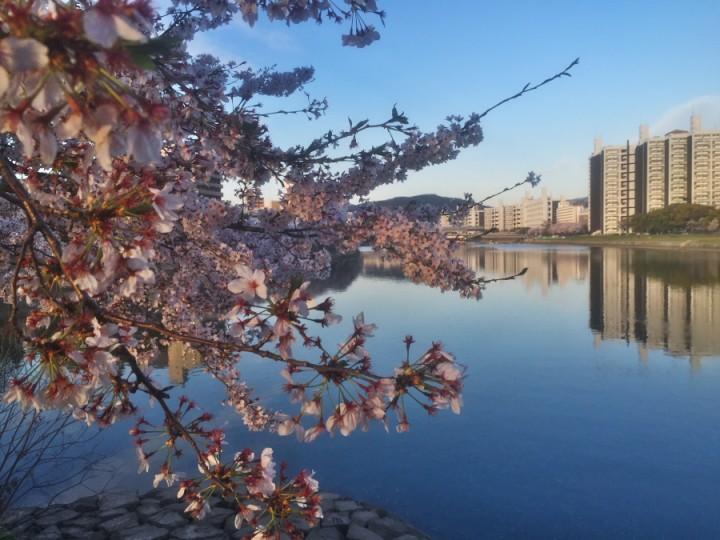 桜が満開で素晴らしいロケーション