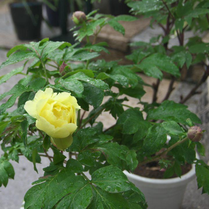 ボタンが雨に濡れて鮮やかな黄色の花が咲いています