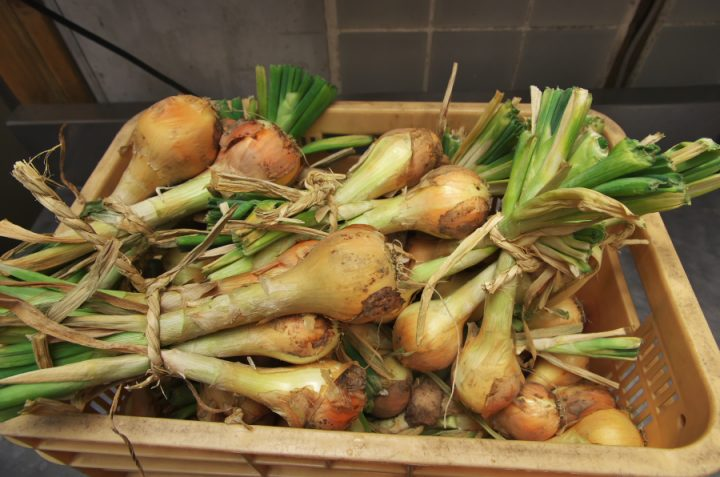 無農薬の玉葱を大量に頂きました