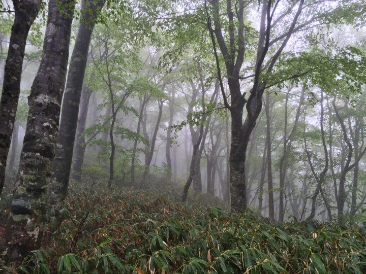 山頂はガスがかかっている 比婆山はブナ林が良い感じ