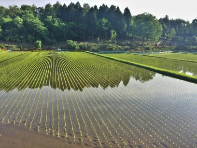 田植えが終わった稲は元気そうです