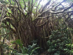 ガシュマルの林