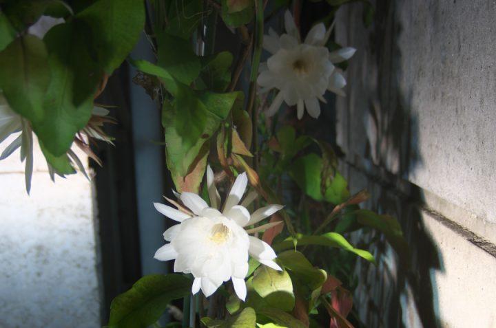小雨の真夜中ひっそりと満開 大きな花です