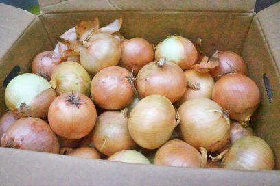 有機玉葱を購入 大きさはまずます