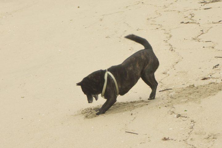 甲斐犬のカイは砂と戯れています